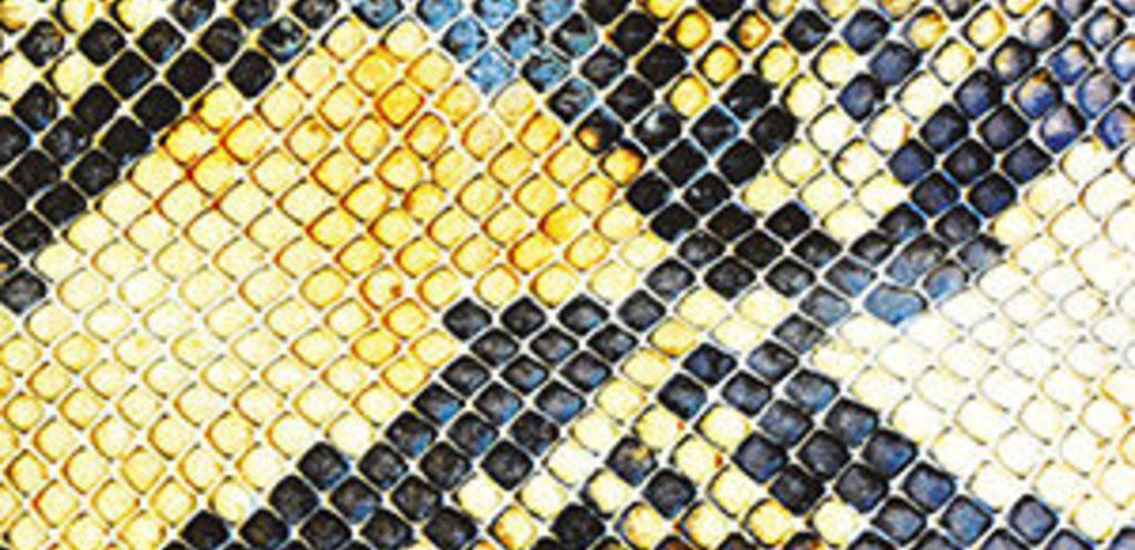 amazingsnakeheads LP II
